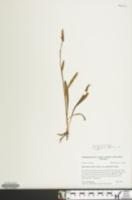 Spiranthes ovalis var. erostellata image