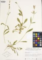 Silene occidentalis image