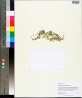 Spirodela punctata image