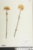 Image of Viburnum fragrans