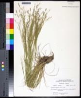 Agrostis hiemalis image