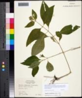 Yeatesia viridiflora image