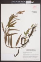 Image of Persicaria glabra