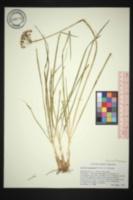 Allium tuberosum image