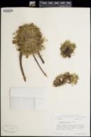 Trifolium nanum image