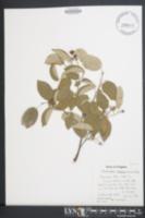 Amelanchier arborea image