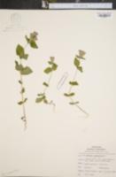 Image of Gentiana quinquefolia