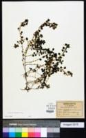 Parietaria floridana image