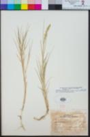 Distichlis spicata image