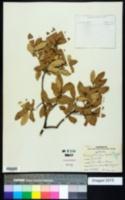 Quercus mohriana image