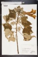 Image of Hibiscus furcellatus