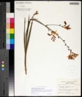 Watsonia borbonica image