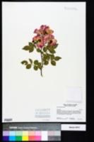 Rosa odorata image