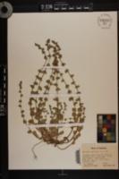 Triodanis perfoliata var. perfoliata image