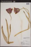 Tulipa sylvestris image