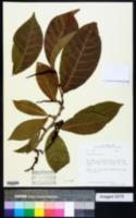 Image of Coccoloba venosa