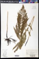 Image of Athyrium filix-femina