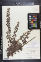Lespedeza × nuttallii image