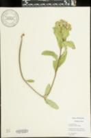 Asclepias viridis image