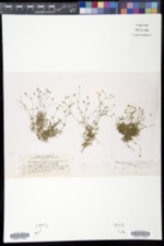 Sabulina rubella image