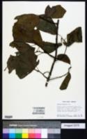 Quercus arkansana image