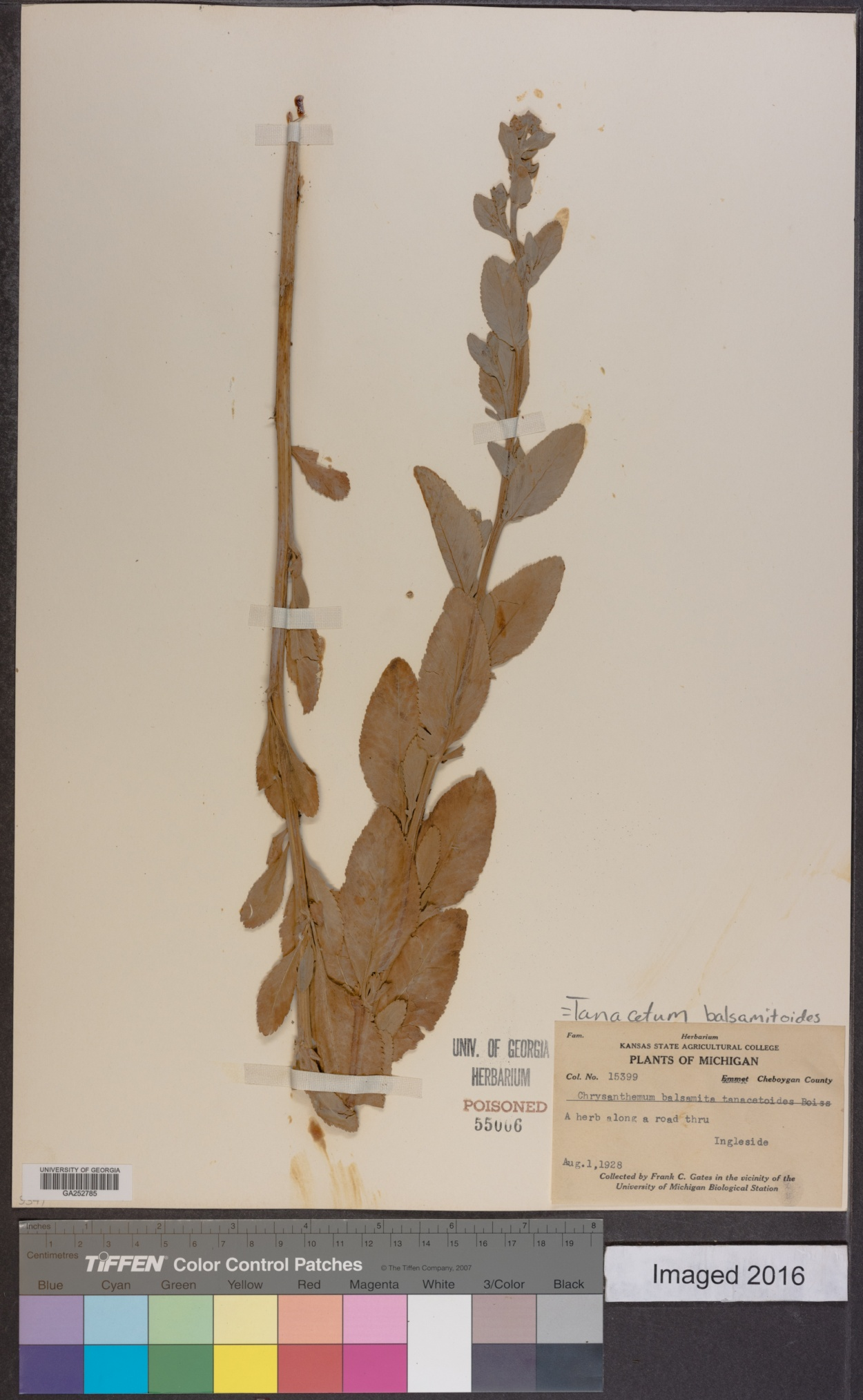 Tanacetum balsamitoides image