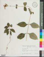 Phlox amplifolia image