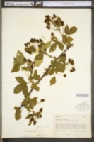 Rubus rosa image