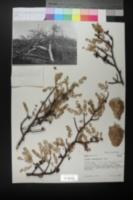 Bursera microphylla image