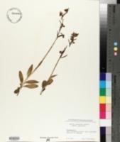 Ophrys sphegodes image