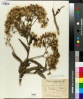Image of Vernonanthura tweedieana