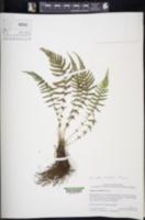 Image of Amauropelta rheophyta