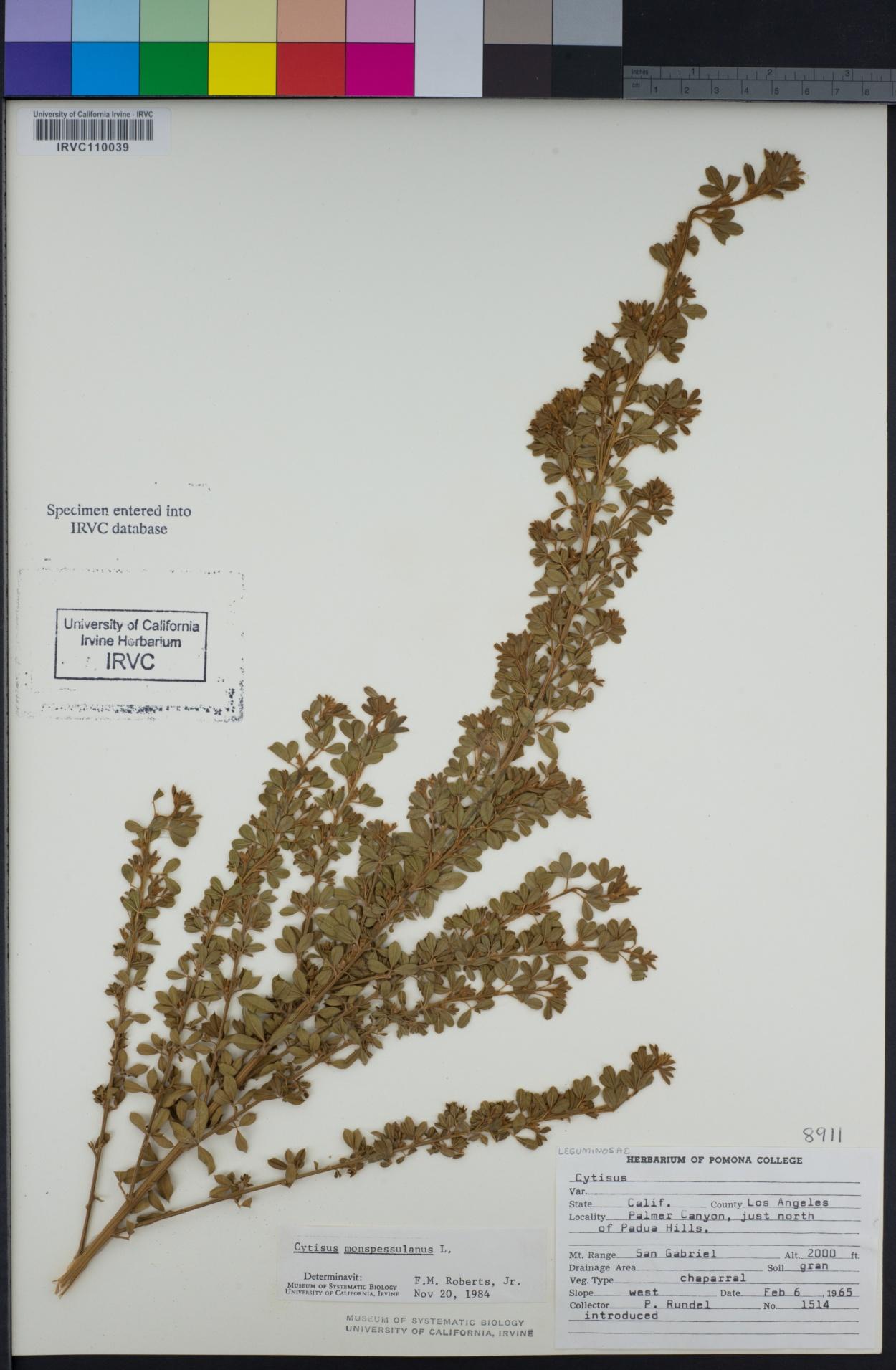 Cytisus image