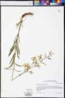 Penstemon arkansanus image