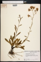 Image of Vernonia acaulis