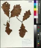Quercus × beadlei image