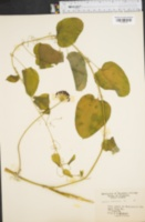 Image of Smilax herbacea