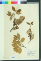 Image of Ulmus hollandica
