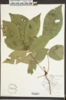 Carya glabra image