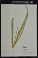 Typha angustifolia image