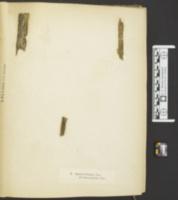 Resupinatus striatulus image