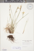 Sisyrinchium atlanticum image