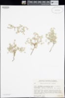 Tiquilia plicata image