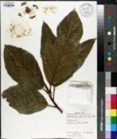 Image of Artocarpus mariannensis