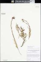 Castilleja applegatei subsp. pallida image