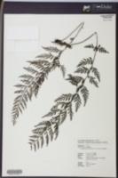 Image of Vandenboschia orientalis