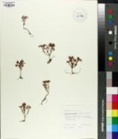 Diamorpha cymosa image