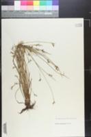 Scleria reticularis image