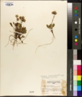 Packera werneriifolia image