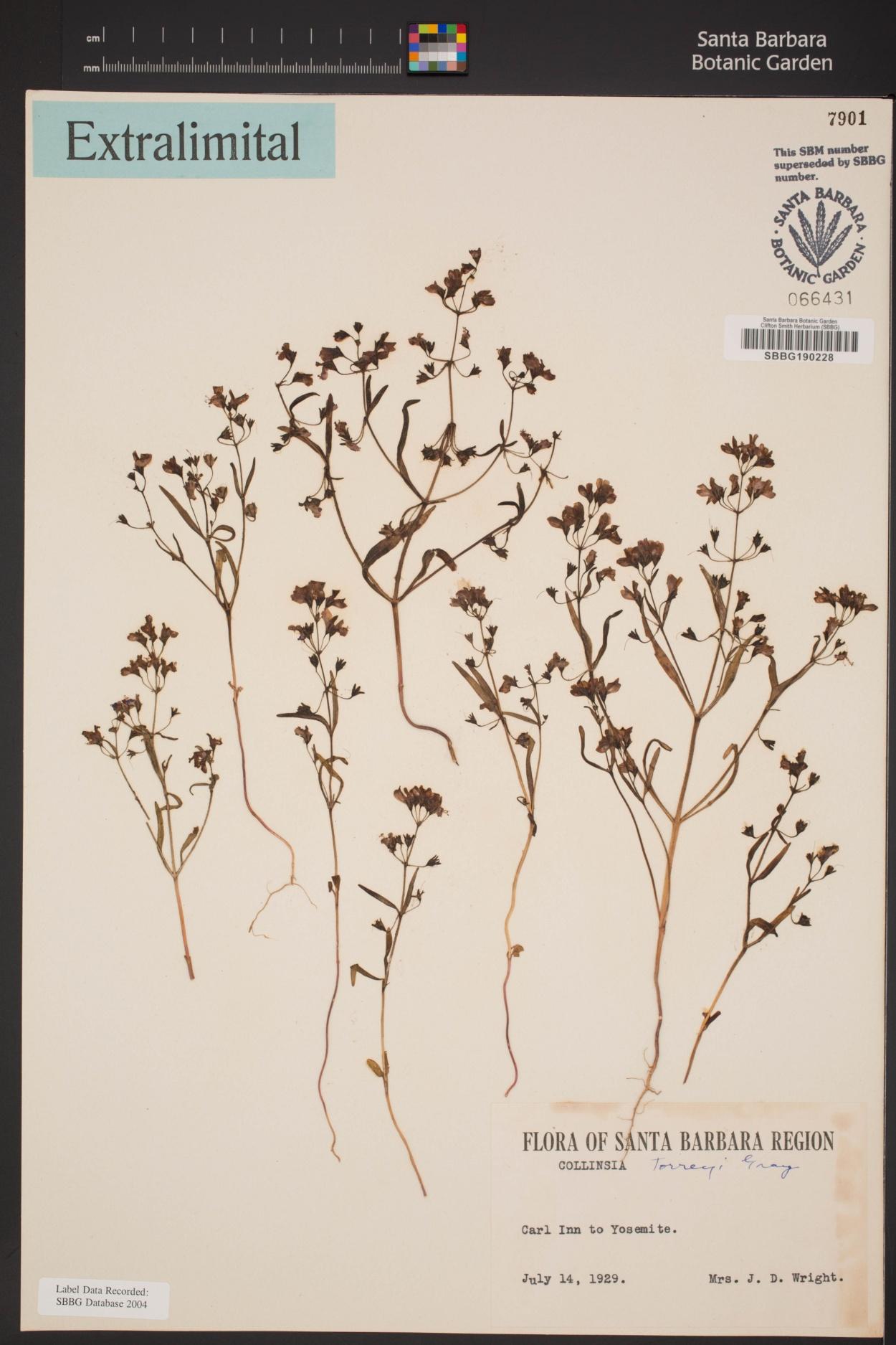 Collinsia torreyi var. latifolia image